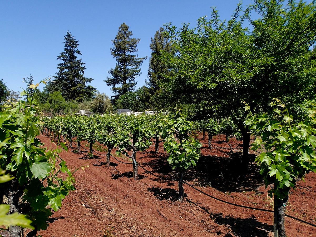charter oak winery vineyards